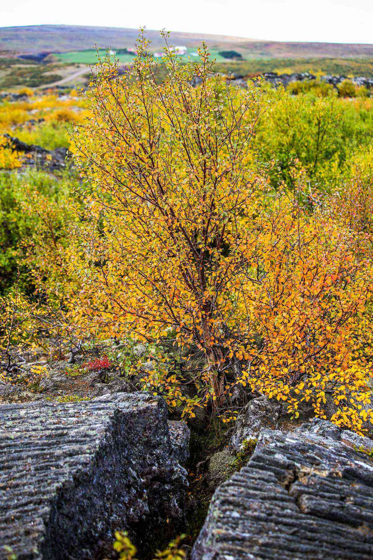 Miniature-birch-tree-in-autumn-growing-between-a-huge-split-volcanic-rock-in-Husafell-Reykholt-western-central-Iceland