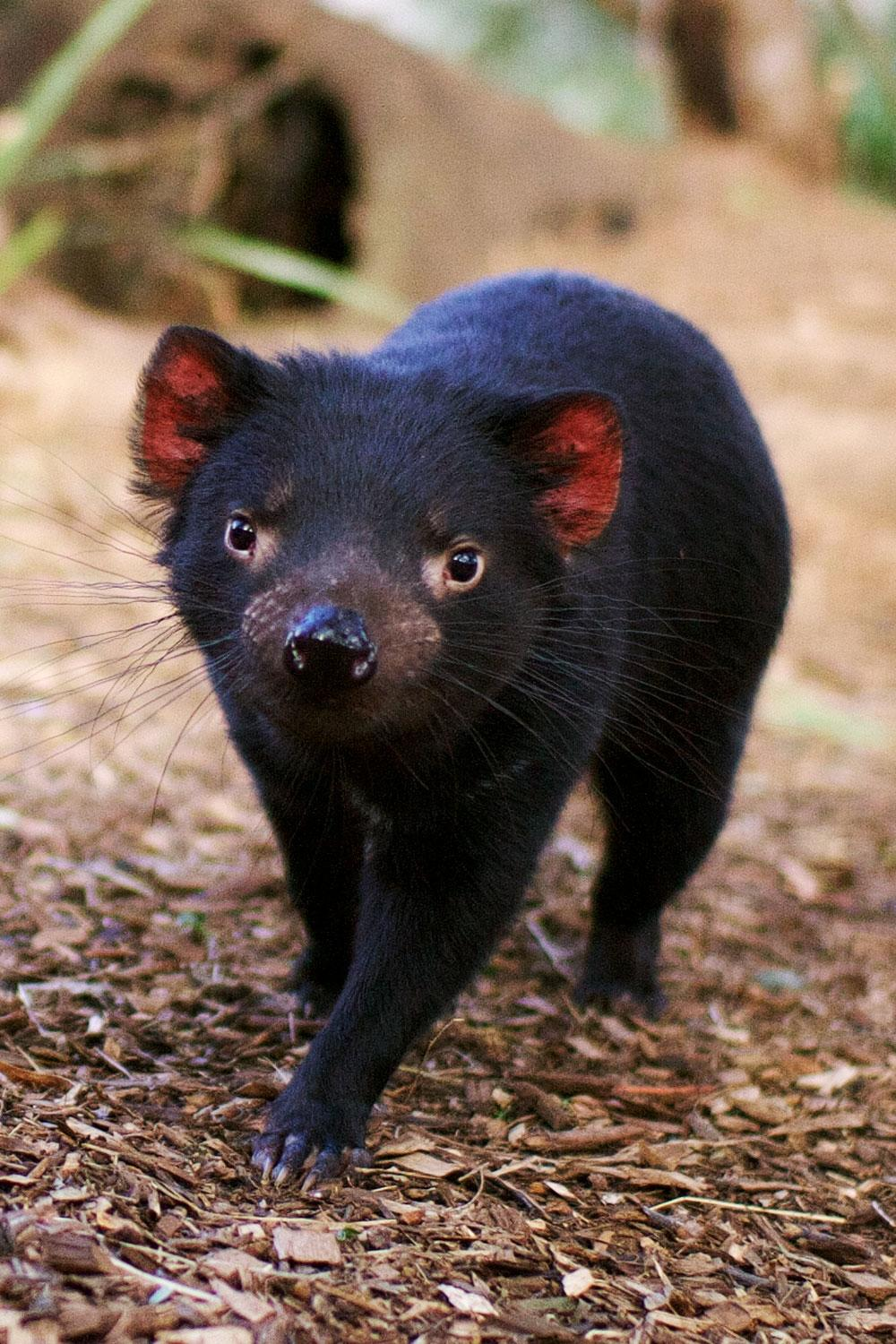 9 places where you can find an actual tasmanian devil fodors