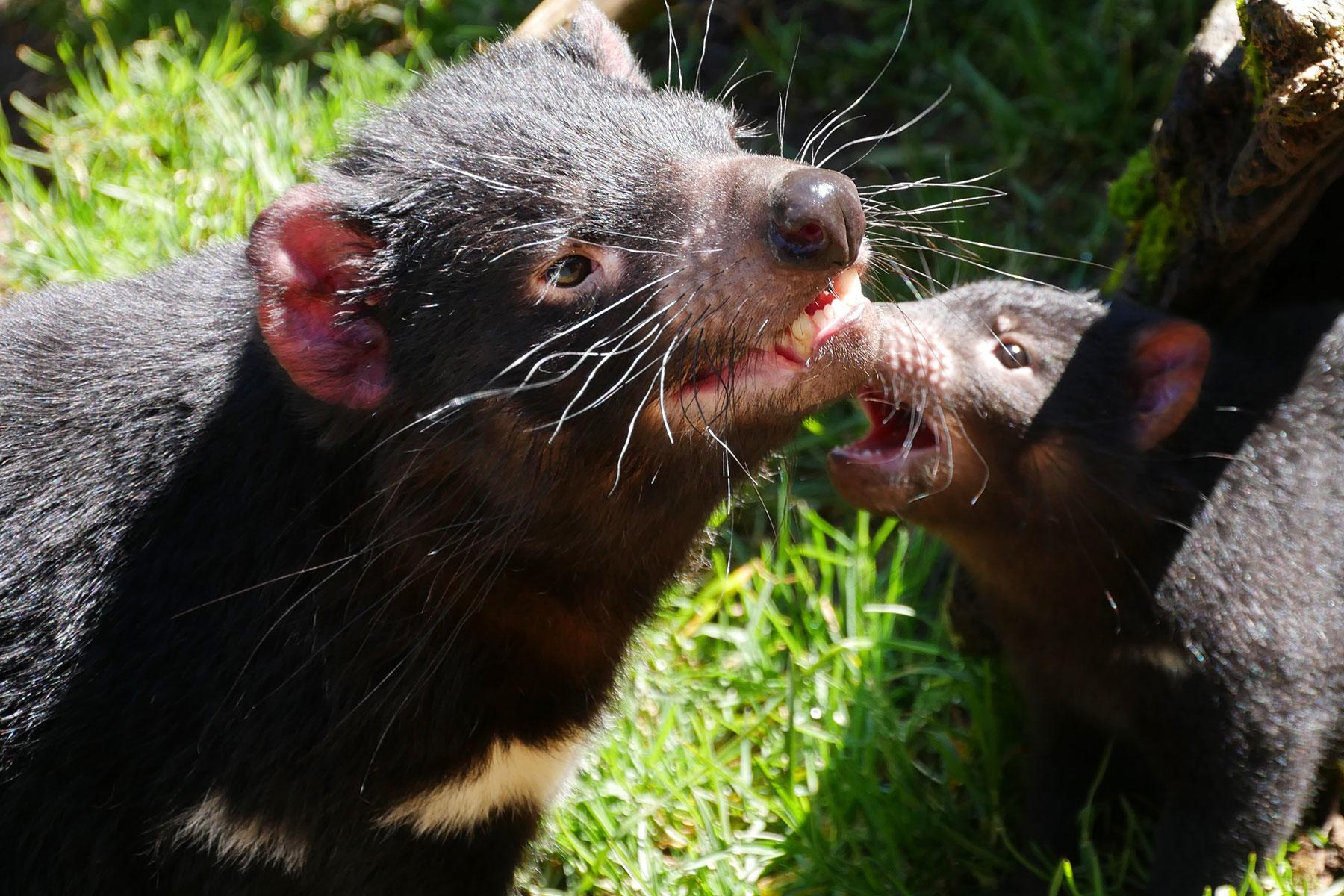 how to help tasmanian devils