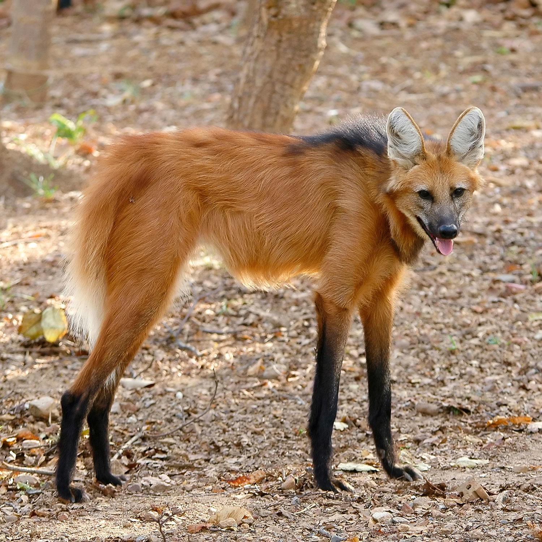 animals weirdest worlds wolf fodors anankkml dreamstime