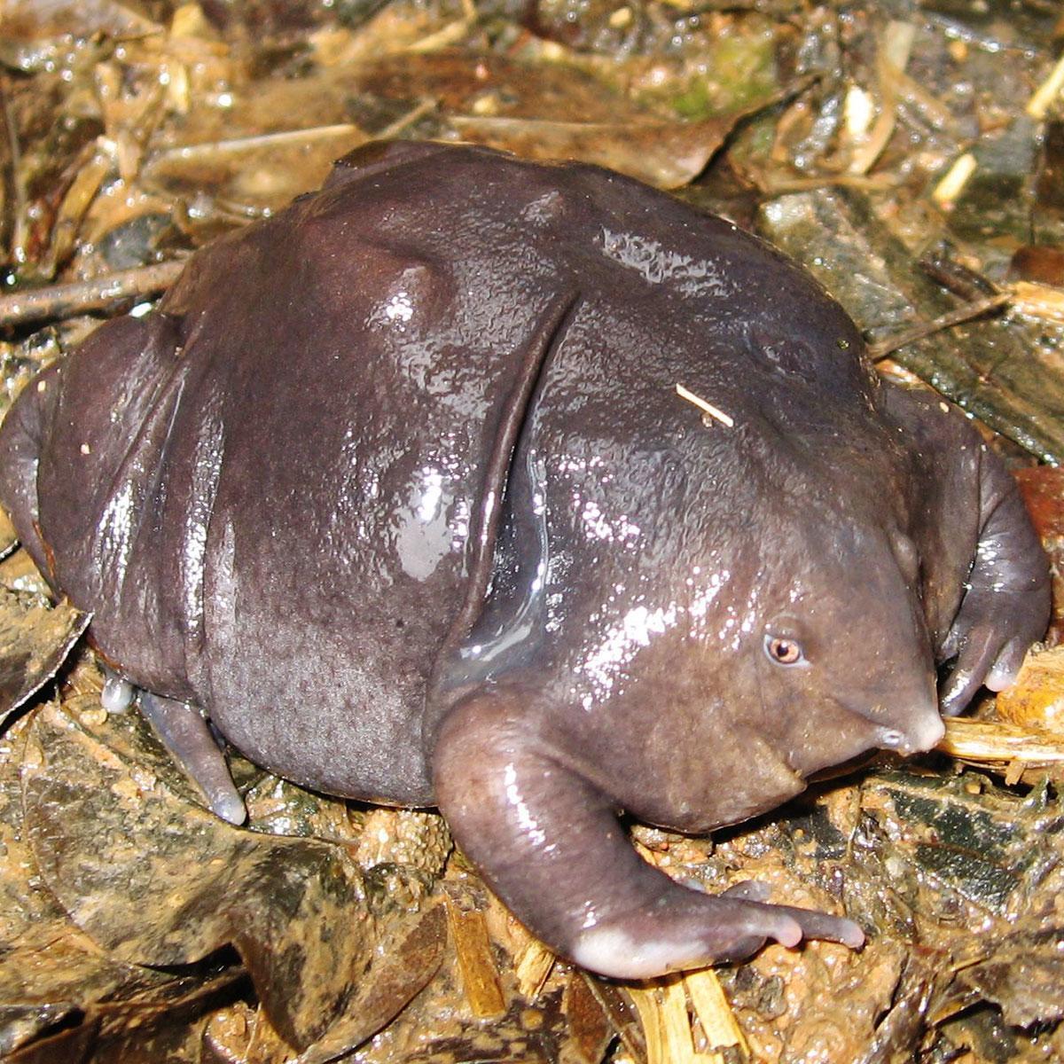 animals weirdest worlds frog purple fodors sa cc wikimedia commons via