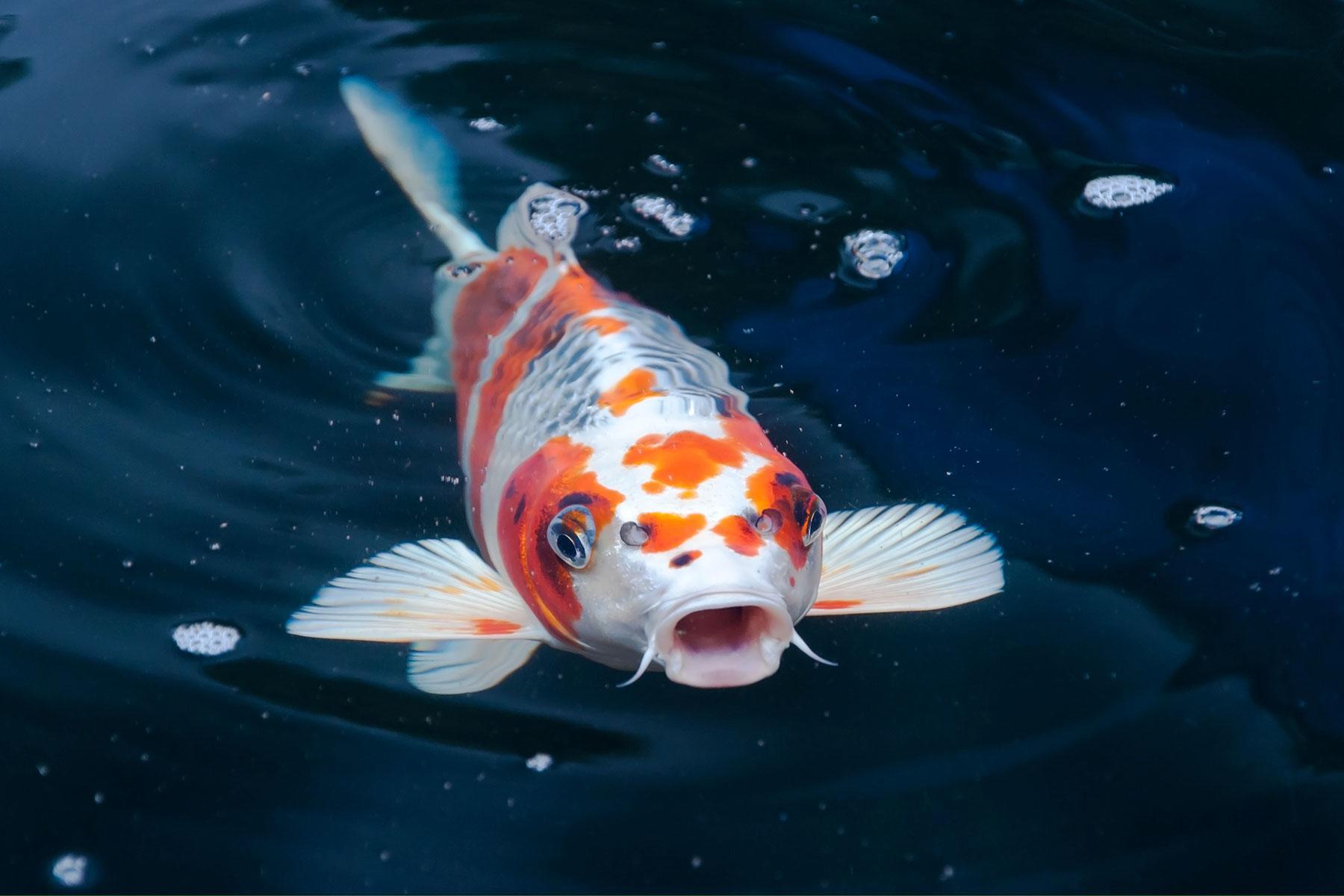 13 festivals at botanic gardens 2018 for Keeping koi fish
