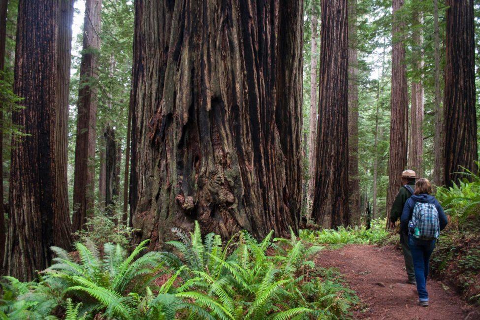 Redwoods-Ranger_Perspective