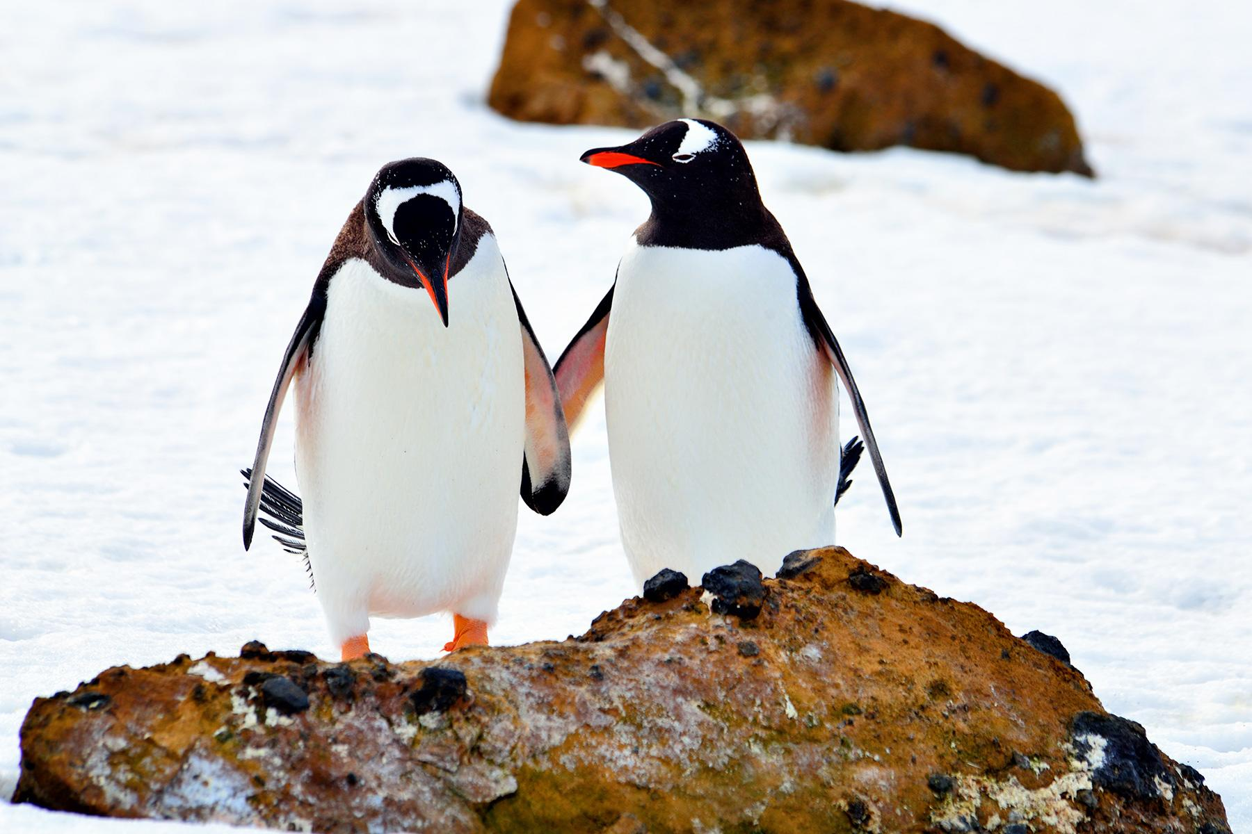 12_Antartica101_NeverTirePenguins_shutterstock_609598490_2
